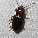 Beetle - Trichotichnus vulpeculus