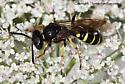 Wasp - Aphilanthops frigidus