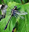 unknown dragonfly - Gomphus sp? - Gomphurus fraternus