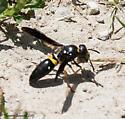 wasp - Ancistrocerus spinolae - female