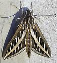 Hyles lineata (White-Lined Sphinx) - Hyles lineata