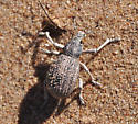 Looks like a Broad-nosed Weevil, perhaps tribe Geonemini - Ophryastes