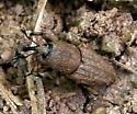 Beetle ID Request - Sphenophorus minimus