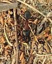 Wood Ant?