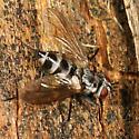 Tachinid fly - Zelia - female