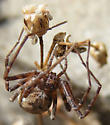 Cairn-building Spider - Philodromus alascensis