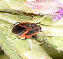 Melacoryphus admirabilis