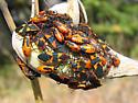 Milkweed Bug - Oncopeltus fasciatus