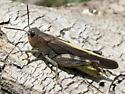 acridid - Arphia conspersa - male