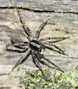 Same species? - Schizocosa ocreata - female
