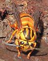 Southern Yellowjacket queen - Vespula squamosa - female