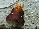 Moth - Anisota virginiensis