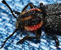 Small Black Firefly? - Chariessa pilosa