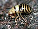Immature cicada nymph dug up  - Okanagana