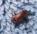 Plant bug - Phytocoris? - Phytocoris