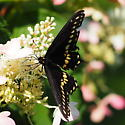 Papilio sp. in Southern Wisconsin - Papilio polyxenes