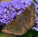 Unknown Duskywing - Erynnis horatius