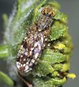 Tephritidae - Neotephritis finalis