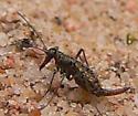 Odd Bug - Boreus coloradensis - female