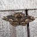 Oak Beauty Moth - Phaeoura quernaria - male