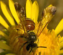 Mining Bee - I think - Dieunomia nevadensis
