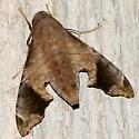 Mournful Sphinx - Hodges #7851 - Enyo lugubris - female