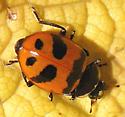 UID Lady Beetle - Hippodamia