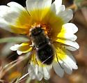 Bombyliid (Bombylius sp.?) on Layia platyglossa - Pantarbes capito - female