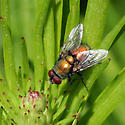 Green Bottle Fly - Lucilia sericata - male