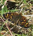Butterfly - Phyciodes pulchella
