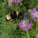 Bombus auricomus - Black-and-gold Bumble Bee? - Bombus auricomus