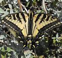 which swallowtail? - Papilio rutulus - female