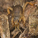 Family Gryllotalpidae - Mole Crickets ID please - Neoscapteriscus vicinus