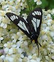 Moth ID-02 - Gnophaela vermiculata