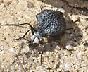Inflated Blister Beetle - Cysteodemus armatus