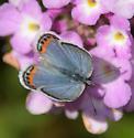 Acmon blue, female cottei form - female