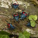 Five Florida Predatory Stink Bugs feeding on a Long-horned beetle. - Euthyrhynchus floridanus