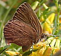 Unknown butterfly, perhaps a copper? - Callophrys augustinus
