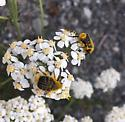 Bee beetle - Trichiotinus assimilis