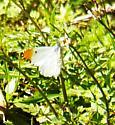 Falcate orangetip - Anthocharis midea - male