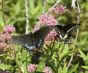 Black Swallowtails - Papilio polyxenes - male - female