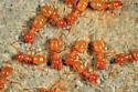 Citronella Ants - Lasius