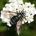 syrphid - Spilomyia fusca