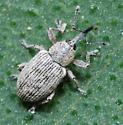 Smicronyx sordidus  - Smicronyx sordidus - male