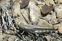 Speckle-winged Rangeland Grasshopper - Arphia conspersa - female