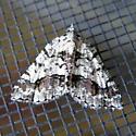 White and black moth - Speranza graphidaria