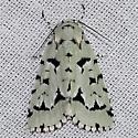 Green Marvel Moth - Acronicta fallax