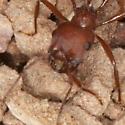 Ant IMG_7896 - Pogonomyrmex occidentalis