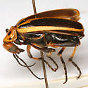 Pyrota trochanterica Horn - Pyrota trochanterica