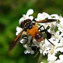 Tachinid Fly - Tricopoda pennipes? - Trichopoda pennipes